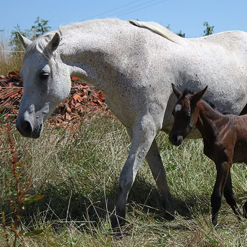 Das Connemara Pony erlebt mittlerweile einen Aufschwung in Deutschland – denn es ist mehr als einfach nur ein Pony.