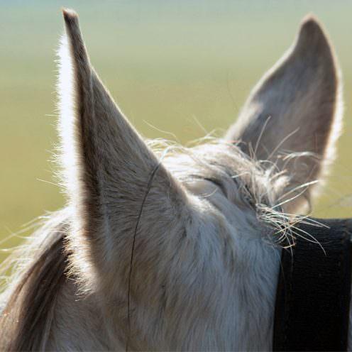 Header Ohr des Pferdes