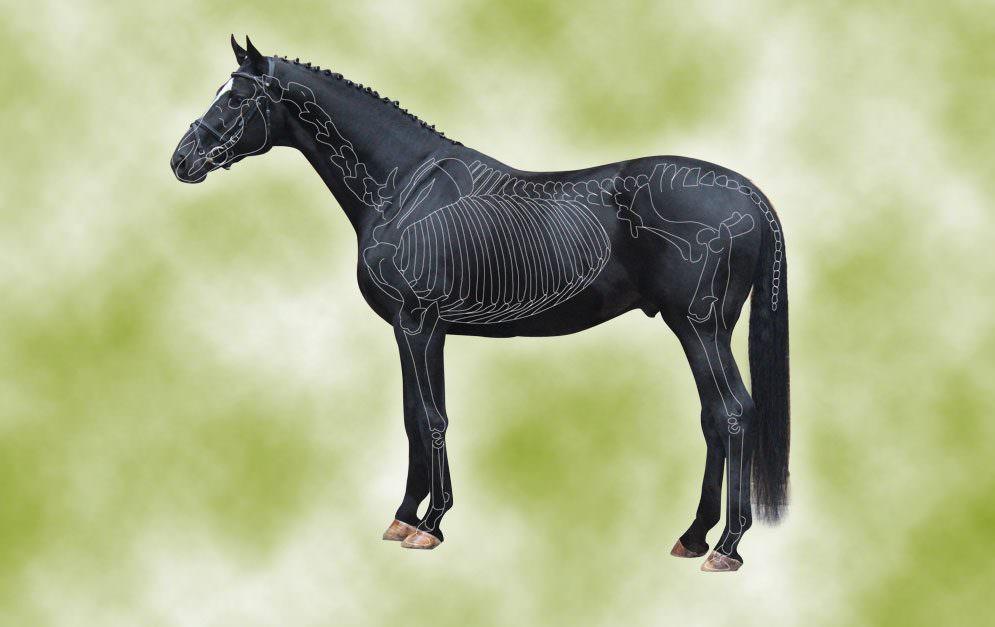 Header Skelett des Pferdes