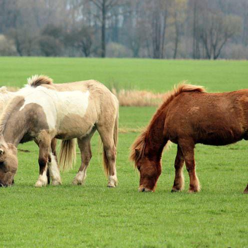 Wohlstandskrankheiten bei Pferden: Übersicht