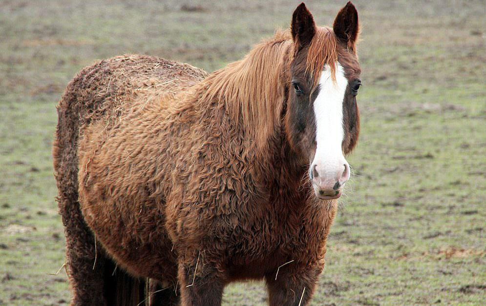 Wohlstandskrankheiten bei Pferden: Equine Cushing Desease (ECD)
