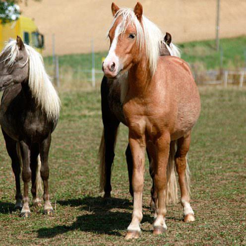Druse bei Pferden