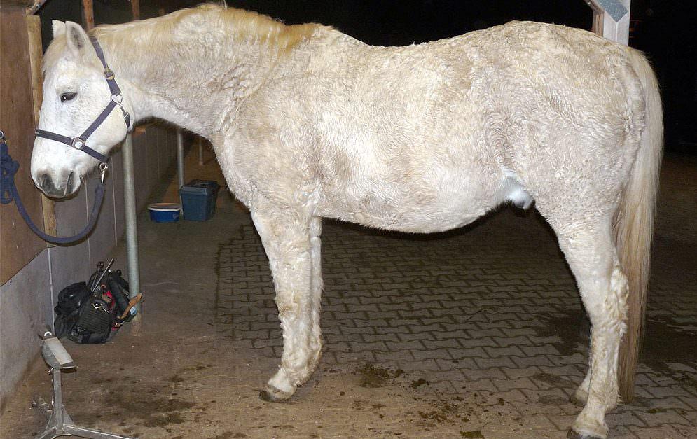 Wohlstandskrankheiten bei Pferden: Equines Metabolisches Syndrom (EMS) © Johannes Wittum