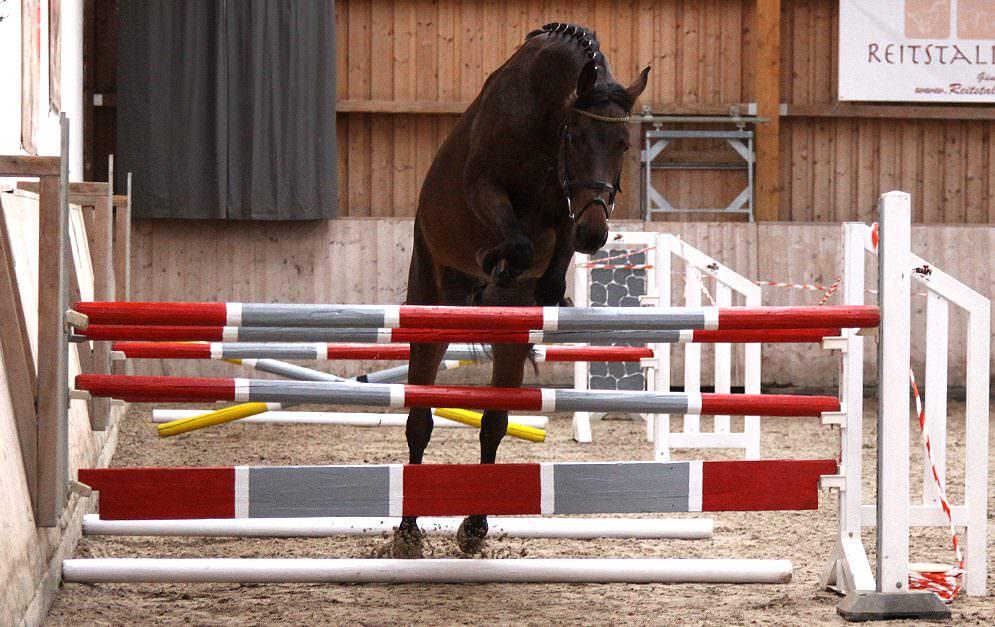 Junge Springpferde beginnen ihre Ausbildung immer mit dem Freispringen.
