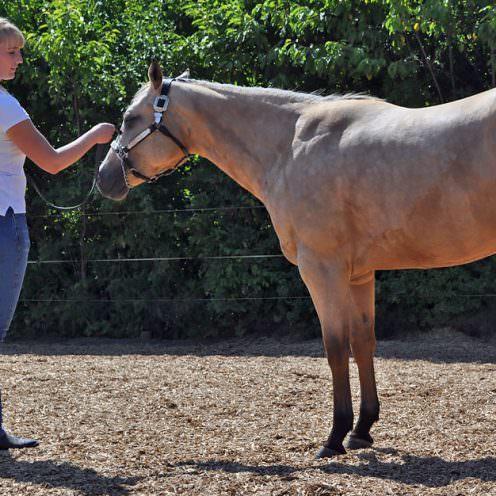 Bei dieser Klasse wird das Pferd am Halfter und an der Hand vorgestellt.? Besonderes Augenmerk wird auf die rassetypischen Merkmale des American Quarter Horse gelegt.