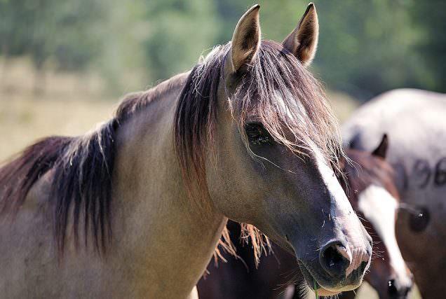 Lungenerweiterung/Remodelling - Atemwegserkrankungen beim Pferd