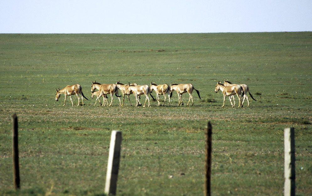 Mongolische Wildesel durchqueren während ihrer jährlichen Wanderungen Gebiete von vielen Tausend Quadratkilometern. © Petra Kaczensky / Vetmeduni Vienna