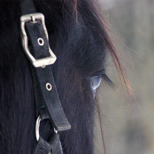 Viele Tiere, die unter der Obhut des Menschen leben, neigen zu Verhaltensstörungen. Dies gilt für viele Haus- sowie Zootiere. In unserer Serie erklären wir Ihnen die beim Pferd am meisten vorkommenden Muster.