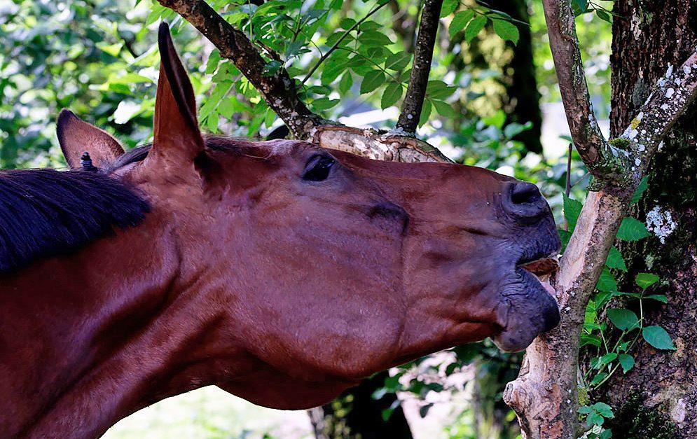 Mit dem Konzept des Paddock Trails verbindet sich eine möglichst naturnahe Pferdehaltung, auch was Knabbereien angeht. Deshalb möchten wir unsere Knabberhölzer selber ziehen.