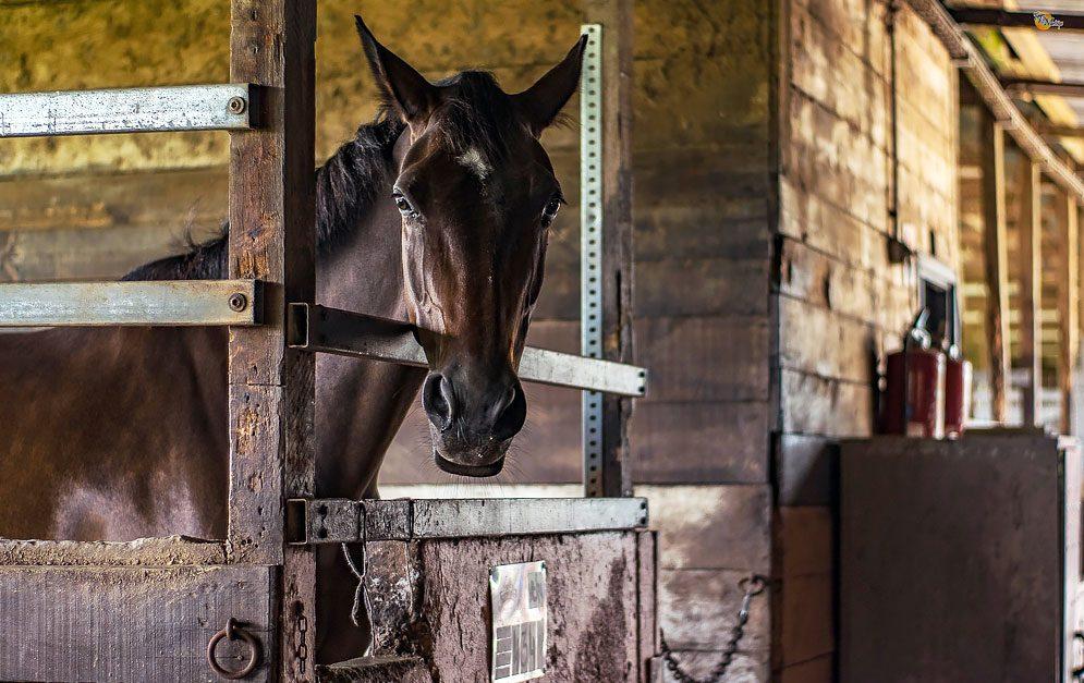 Tristes Dasein zahlreicher Schulpferde - Schweizer Tierschutz besuchte 15 Reiterhöfe in der Schweiz