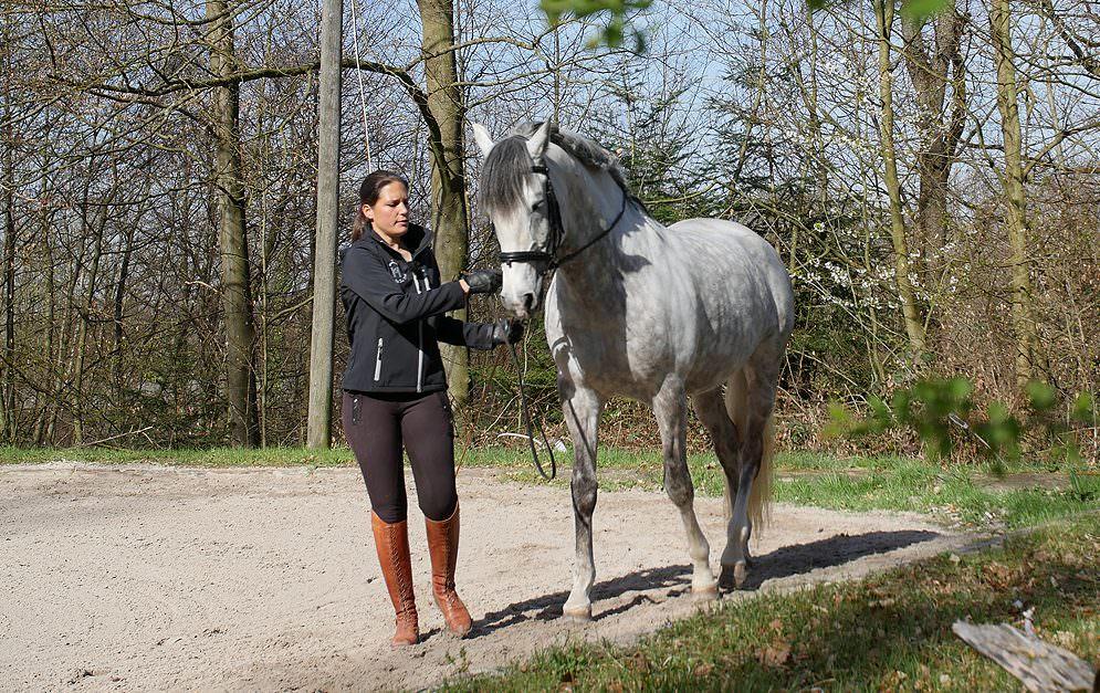 Nicht nur unter dem Reiter kann man das Pferd sinnvoll gymnastizieren – auch vom Boden aus. Die Klassische Arbeit an der Hand bietet hierfür beste Voraussetzungen.