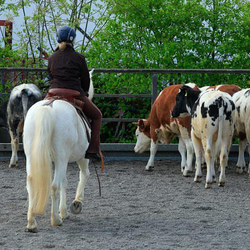 Die Königsdisziplin der Working Equitation und ihr Ursprung - die Rinderarbeit. Wie du damit beginnst, erklärt dir Thomas Türmer in unserem Beitrag.