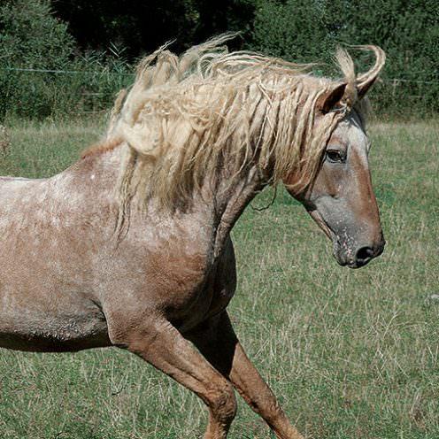Fast alle Curly Horses haben lockiges Fell und sind sogar hypoallergen!