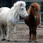 Pferde scheren - ja oder nein?