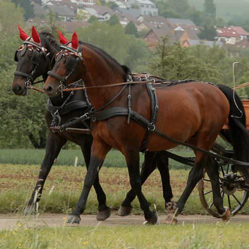 Ein robustes, elegantes Pferd für Kutsche und Reiten gleichermaßen. Mit diesen Eckdaten macht sich der Altwürttemberger weit über die süddeutsche Grenze hinaus beliebt. Doch trotz seiner Fangemeinde muss stark auf seinen Erhalt geachtet werden - die Pferde aus Schwaben sind in ihrem Bestand gefährdet.