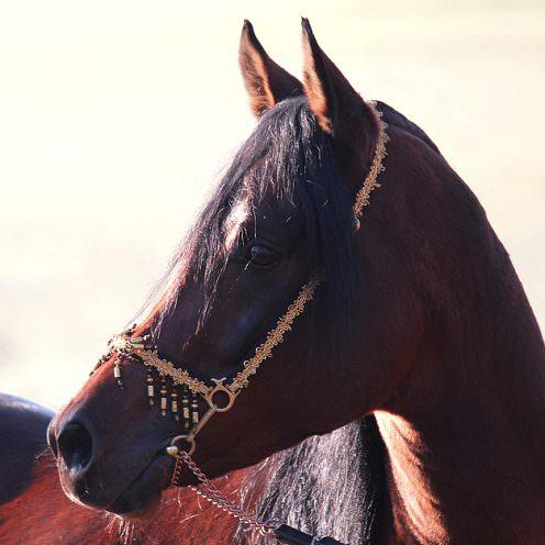 Der Vollblutaraber gehört zu den edelsten Pferderassen der Welt. Wir haben seine lange Zuchtgeschichte im Haupt- und Landgestüt Marbach kennengelernt.