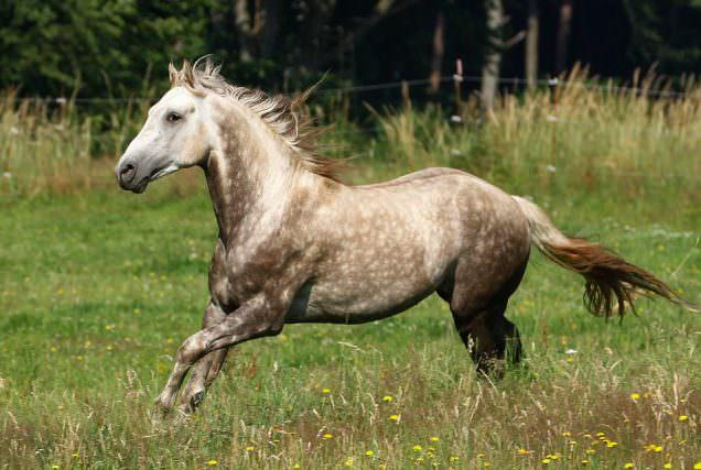 Berber sind sehr menschenbezogene Pferde mit einem ausgeglichenen Charakter. Sie haben starke Nerven, sind sehr geländegängig und äußerst trittsicher. Im Herkunftsland der Berber, den zerklüfteten Gebirgsregionen Nordafrikas, hat über die Jahrtausende eine natürliche Selektion stattgefunden.