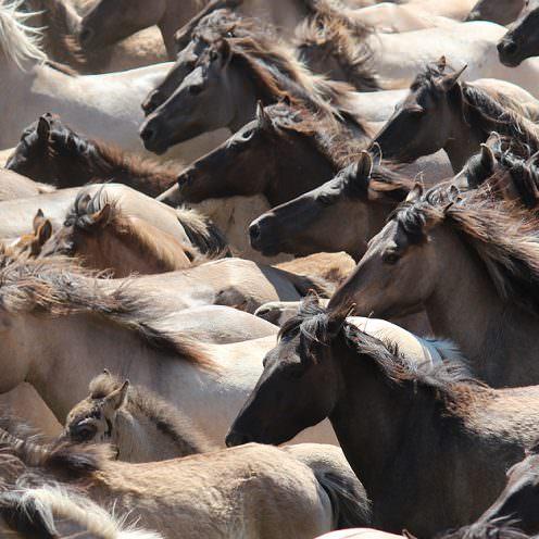 Die Dülmener Wildpferde leben in einem Reservat in Westfalen - wir haben die Herde dort besucht.