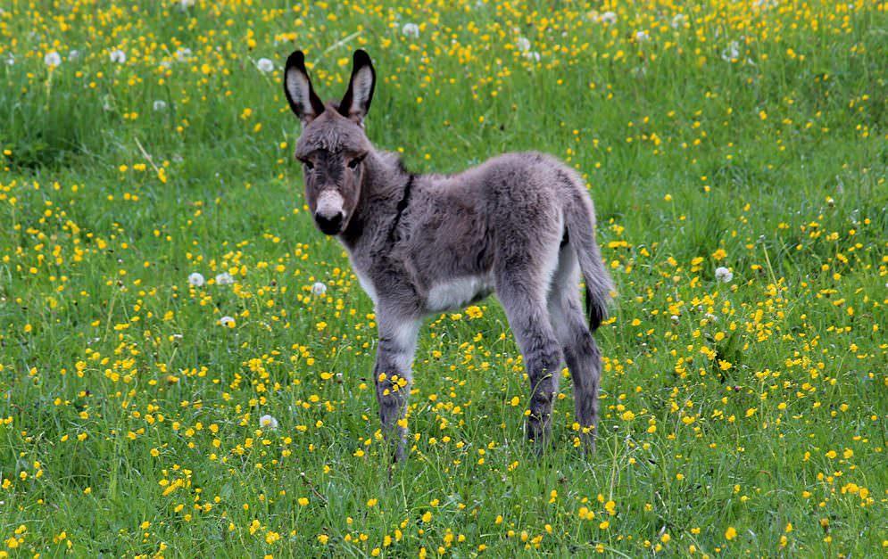 Seine großen Knopfaugen, die langen Ohren und das kuschelige Fell lassen den Esel vom einst missverstandenen Lastenträger zum beliebten Haustier werden.