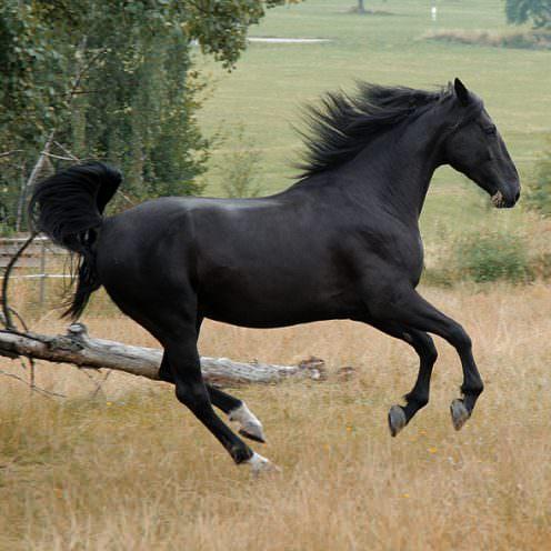 Maremmapferde kommen aus der Sumpflandschaft der Toskana.