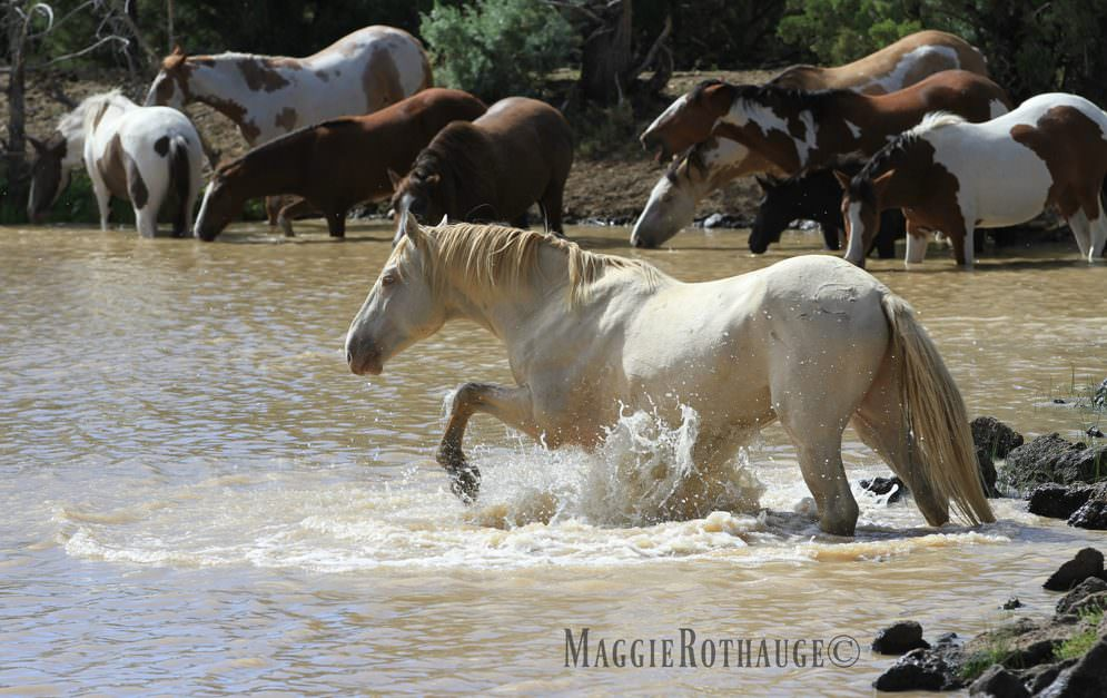 Mustangs sind wilde Pferde, die in den Weiten Amerikas leben.
