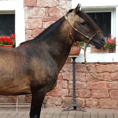 Der Paso Peruano ist ein Gangpferd aus Südamerika, das in Deutschland noch nicht so weit verbreitet ist.