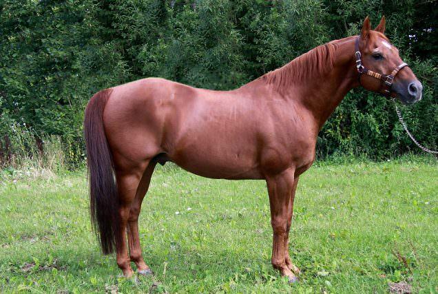 Das Quarter Horse ist weltweit die beliebteste Pferderasse und mit über 5,5 Millionen eingetragenen Pferden auch die größte.