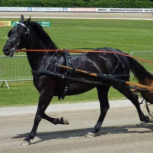 Das Rottaler Pferd ist ein schwereres Warmblut, das seinen Ursprung in Bayern hat.