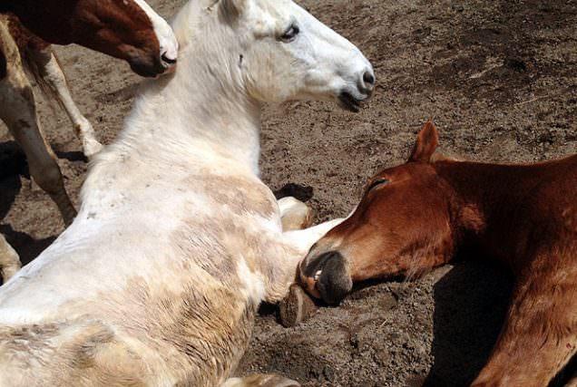Pferde schlafen im Stehen; Pferde haben keinen Schlafrhythmus; Pferde schlafen nie wirklich – über das Schlafverhalten der Pferde kursieren viele Gerüchte, Mutmaßungen und Vermutungen, Grund genug, sich einmal näher mit diesem Thema zu beschäftigen.
