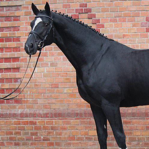 Der Württemberger ist ein beliebtes und erfolgreiches Pferd im Reitsport – erfahre in unserem Rasseportrait mehr über die Spring- und Dressurtalente.