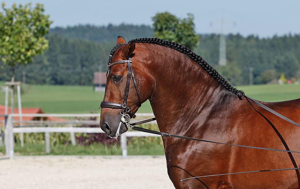 Der französische Zopf ist der Klassiker unter den Flechtfrisuren für Pferde.