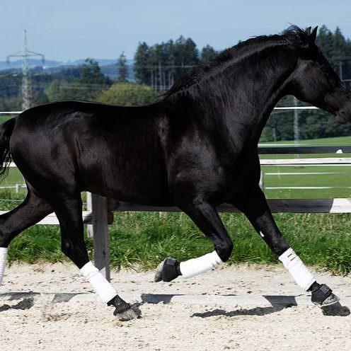 Viele Pferde werden in Gamaschen oder Bandagen gepackt, sei es zum Ausreiten, Freilaufen oder in der Dressur. Was damit wirklich bewirkt wird, erklären wir.