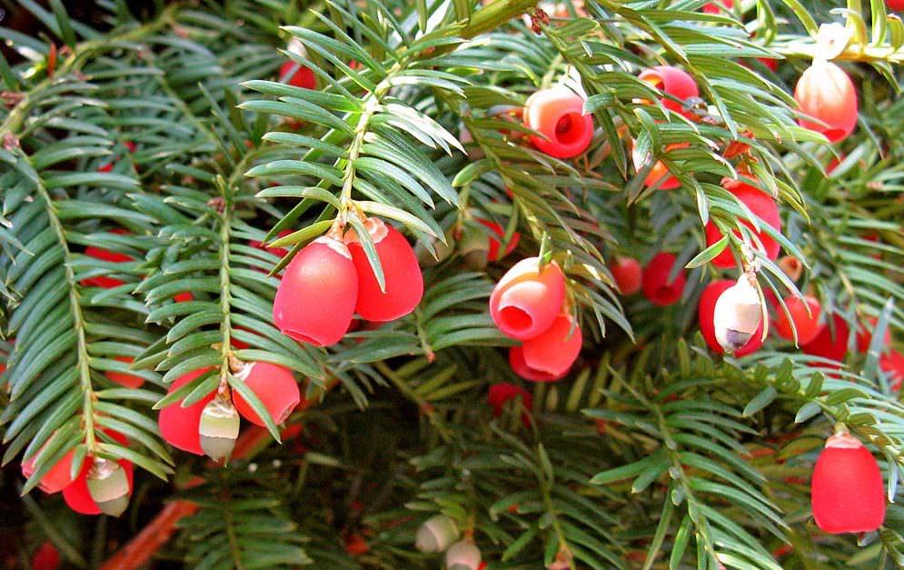 Im Herbst reifen die giftigen Samen in einem erst grünen, später roten, fleischigen Samenmantel heran. Bereits 200 g Eibennadeln genügen als tödliche Dosis.