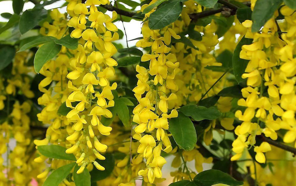 Eine der gefährlichsten Giftpflanzen ist der Gemeine Goldregen. Erfahre mehr über seine giftigen Stoffe und die Anzeichen einer Vergiftung.