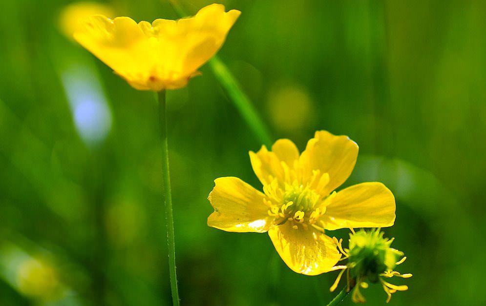 Der Hahnenfuß wird im Volksmund auch Butterblume genannt. Lies mehr über die giftige Pflanze mit den goldgelben Blütenblättern.