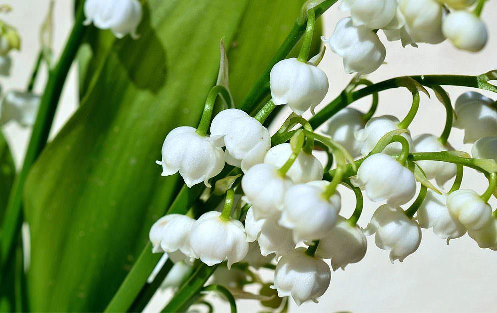 Im Frühjahr beginnt die Blütezeit der Maiglöckchen, deren Blätter oft mit Bärlauch verwechselt werden. Vor allem im Wald besteht hier erhöhte Gefahr.
