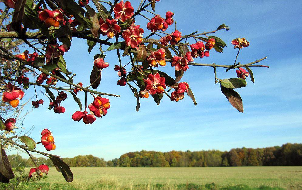 Das Pfaffenhütchen ist einer der häufigsten heimischen Sträucher und ziert sich mit wunderschönen Früchten, ist jedoch absolut nicht bekömmlich.