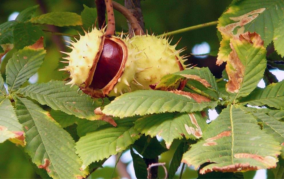 Kastanien sind in Deutschland häufig zu finden und sind vor allem im Herbst beliebt: Die braunen Früchte werden gerne für Basteleien aller Art verwendet.