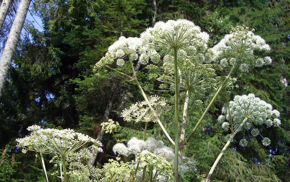 Die bis zu 4 Meter hohe Pflanze kann für Mensch und Tier gefährlich werden - und ist trotzdem in vielen Teilen Deutschlands weit verbreitet.