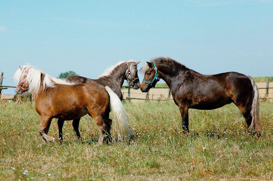Das Herpesvirus überträgt sich über Tröpfcheninfektion von Pferd zu Pferd.