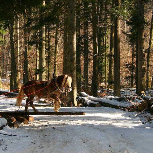 Ökologische Vorteile von Rückepferden, ökonomische Vorteile von Rückepferden, optimaler Einsatz von Rückepferden, weitere Einsatzmöglichkeiten für Pferde.