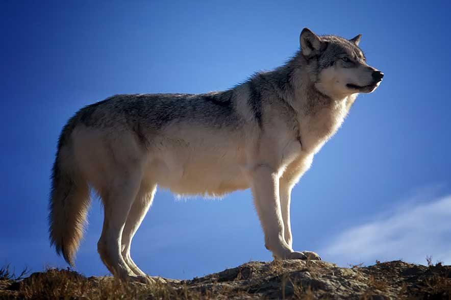 Viele Reiter, Züchter und Pferdesportler machen sich, aufgrund der Rückkehr des Wolfes, große Sorgen um ihre geliebten Vierbeiner.