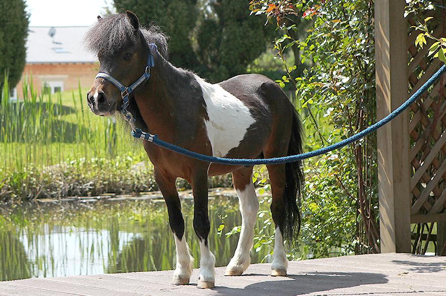 Obwohl die American Miniature Horses klein und zierlich sind, können sie ordentlich anpacken!