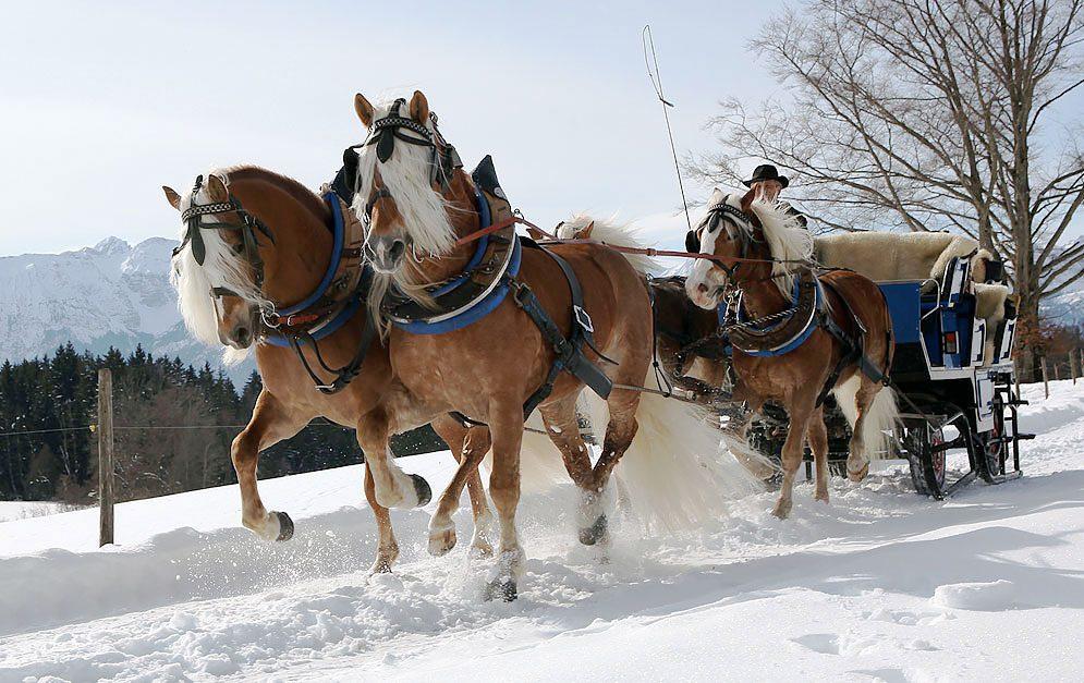 Haflinger sind beliebte kleine Pferde, die aus den Bergen stammen.