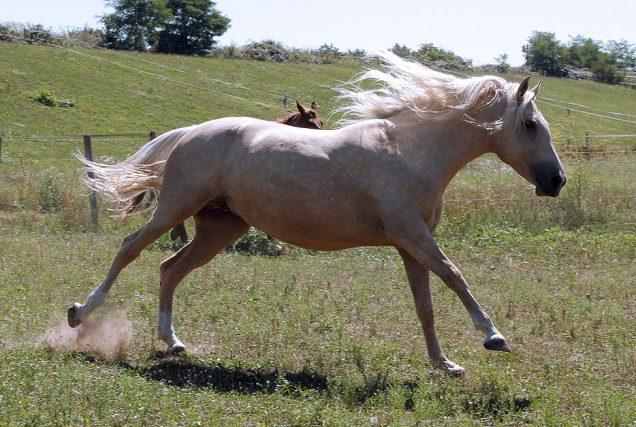 Anatomie: Faszien, Sehnen und Bänder des Pferdes
