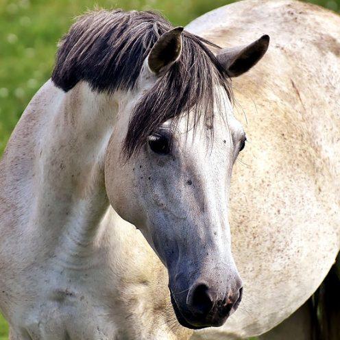 Jedes Pferd hat sein ganz eigenes Beobachtungs- und Lernsystem. Dies zeigt eine an der Hochschule für Wirtschaft und Umwelt Nürtingen-Geislingen (HfWU) erstellte Studie.
