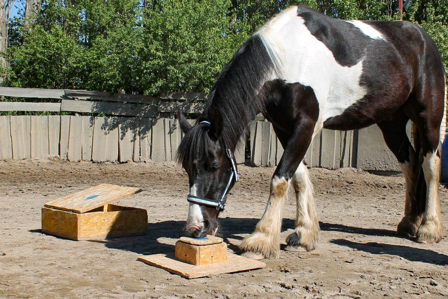 Pferde können außerordentlich gute Beobachter sein und lernen so von Menschen, wie sich etwa eine Futterkiste öffnen lässt. Wir stellen dir die Studie der HfWU vor. © HfWU/Krüger