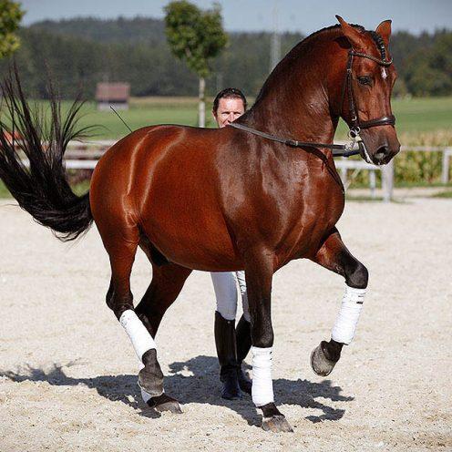 Skala der Ausbildung: Mehr geht nicht! Die Versammlung ist der letzte Punkt im systematischen Pferdetraining und auch dementsprechend gar nicht einfach zu erreichen.
