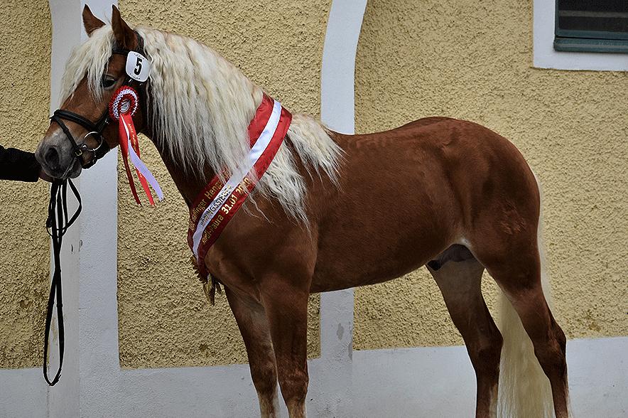Körungssieger Aladin. © Pferdenews.de