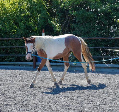 Bevor man aufsitzt ist es ratsam, die Muskeln des Pferdes vom Boden aus schon aufzubauen. Sonja Kutter zeigt, wie die ersten Schritte aussehen.
